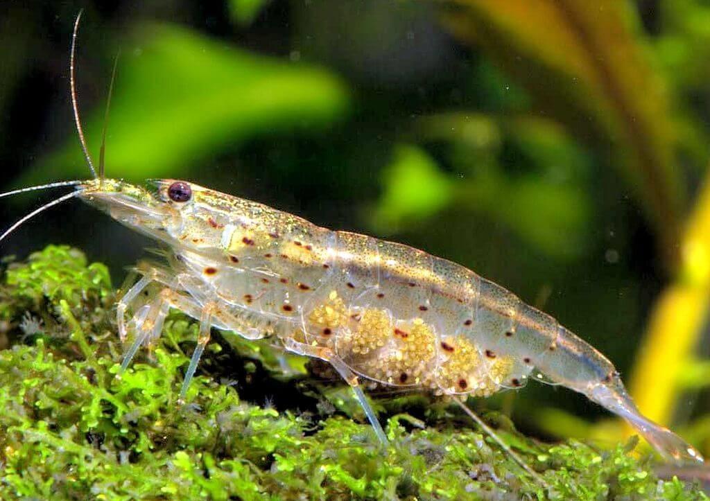 En mémoire à Takashi Amano 1547585874-caridina-multidentata-crevette-amano-femelle