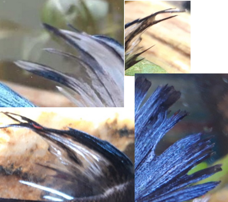 [Tutoriel] Pourriture des nageoires du Betta Splendens - Page 2 1547905078-sans-titre-22