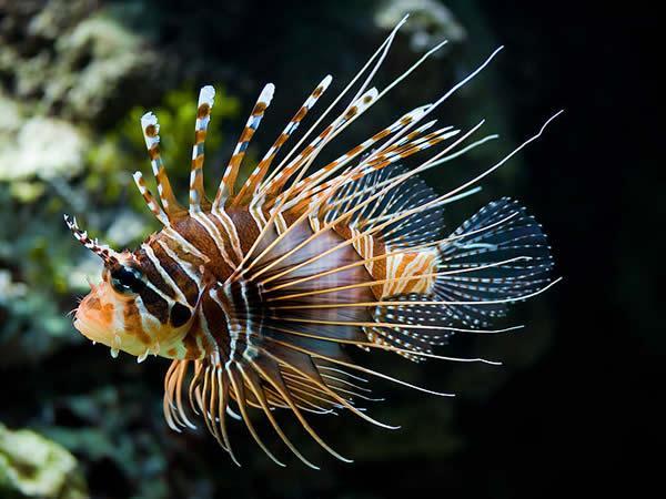 Les poissons des WC 1548522162-la-rascasse-volante