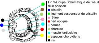 Les sens des poissons 1548793502-coupe-schematique-d-un-oeil-de-poisson