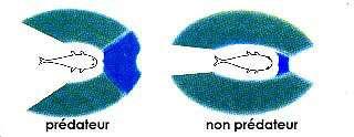 Les sens des poissons 1548793540-champ-de-vision-d-un-poisson