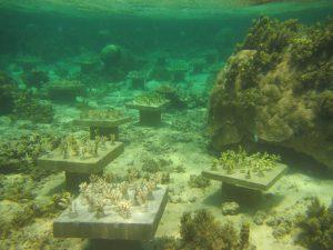 La biodiversité corallienne 1550527229-jardincorallienfidjicc2-300x225