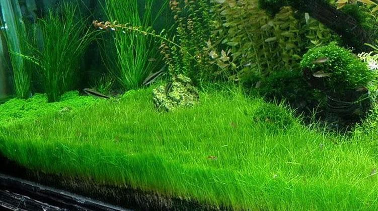 [ARTICLE] L'effet de tapis en aquarium 1555621231-eleocharis-parvula