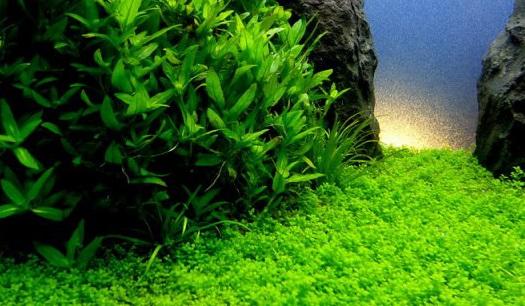 [ARTICLE] L'effet de tapis en aquarium 1555621352-hemianthus-callitrichoides-cuba