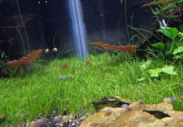 [ARTICLE] L'effet de tapis en aquarium 1555621466-eleocharis-sp-japan