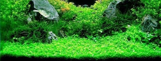 [ARTICLE] L'effet de tapis en aquarium 1555621560-callitriche-sp