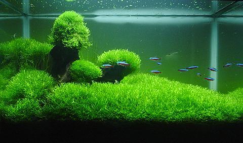 [ARTICLE] L'effet de tapis en aquarium 1555621696-riccia-fluitans