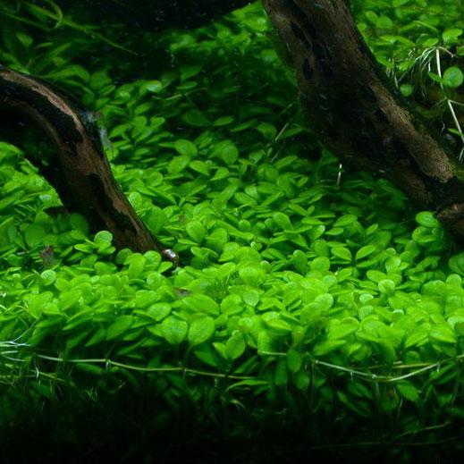 [ARTICLE] L'effet de tapis en aquarium 1555621799-glossostigma-elatinoides
