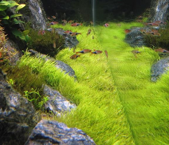 [PROJET] Le bac de Nolan 160L - Page 2 1555622112-utricularia-graminifolia