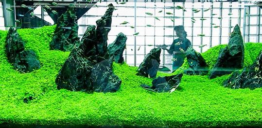 [ARTICLE] L'effet de tapis en aquarium 1555704986-micranthemum-monte-carlo