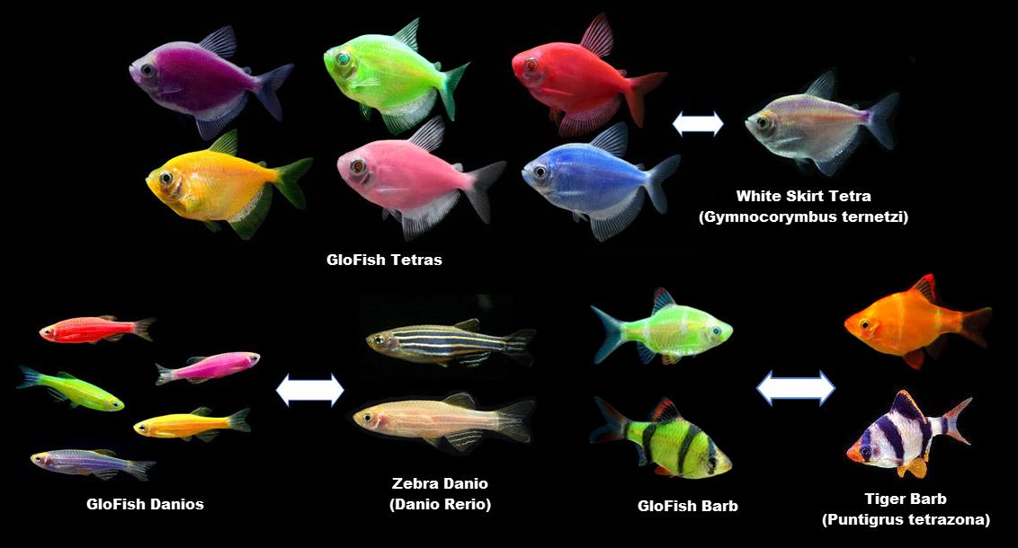 [DÉBAT]Les glofishs 1565295220-origins