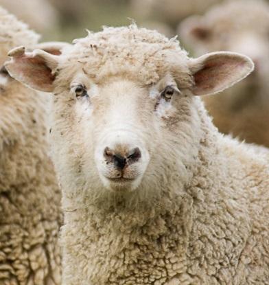 [PROJET] Comme je suis un mouton, je me lance aussi 1565714075-brebis-crecc81dit-lee-torrens-fotolia