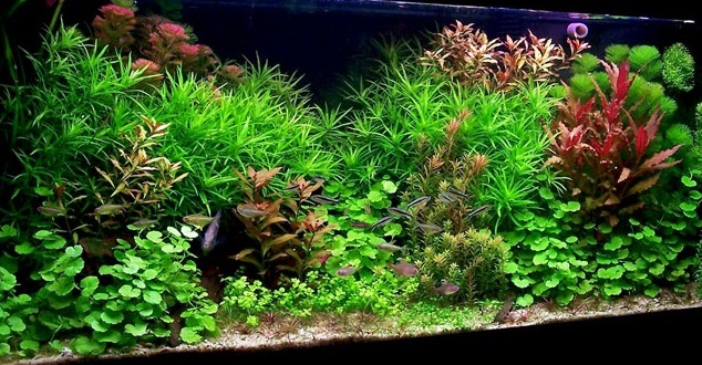 [Article] La fertilisation en aquarium 1571519686-hollandais