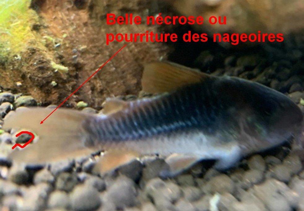 Corydoras bizarre 1571951038-sans-titre-6