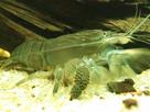 les fans de crevettes filtreuses et autres grosses crevettes - Page 4 1389825026-img-20131212-164118