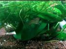 30L Spécifique Cambarellus Texanus (Ecrevisses Naines) 1390082252-img-20140117-010225