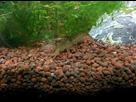 30L Spécifique Cambarellus Texanus (Ecrevisses Naines) 1390082262-img-20140117-191635