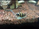 30L Spécifique Cambarellus Texanus (Ecrevisses Naines) 1390082265-img-20140117-014204