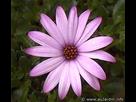 Comment avoir des fleurs d'osteospermum avec les pétales enroulées? 1398112767-osteospermum
