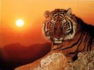 Mes petits dessins 1407510504-tigre