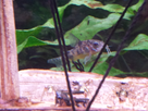[Help] Achat poissons pour aquarium eau chaude 130 litres  1430751815-20150504-165724