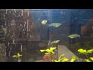 Quels sont ces poissons sauvages ? (résolu) 1435232746-01