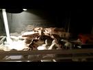 Besoin de conseil pour l'aménagement d'un terrarium (2 femelles geckos)... 1447787285-20151117-200352