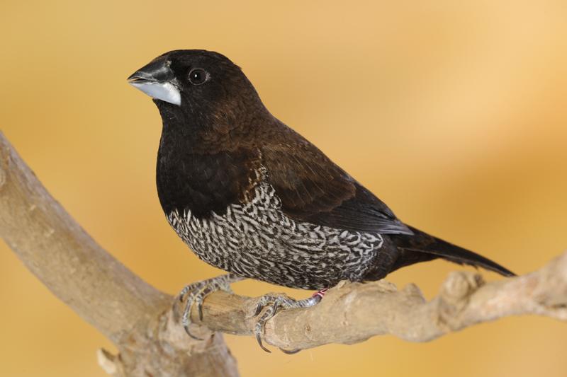 oiseau de Martine 27/11/17 trouvé par Jov Breed_image_58146dfb130fb