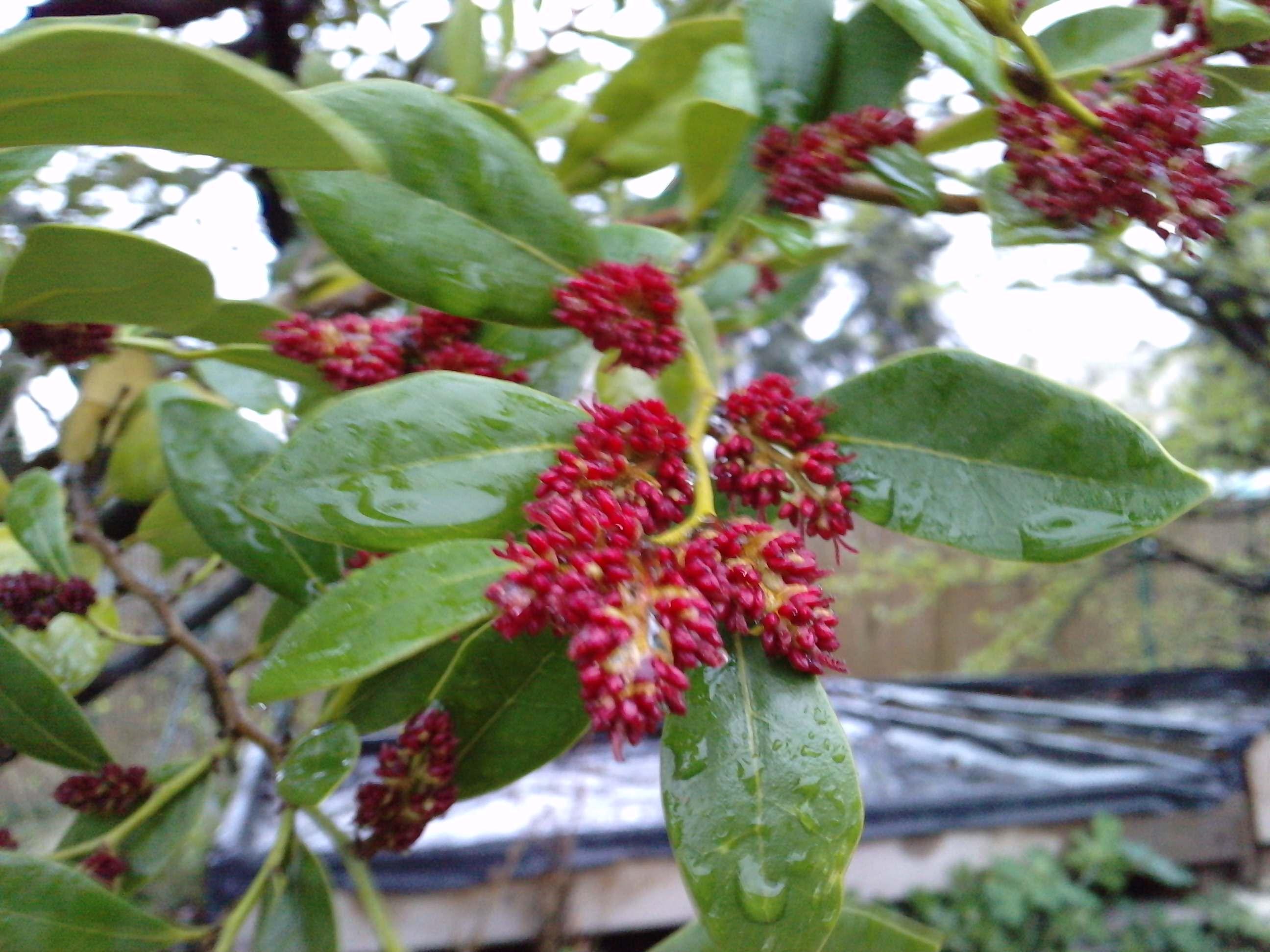 Quelques arbustes en fleurs  121202DISTYLIUMracemosumHamamelidaceaele310311