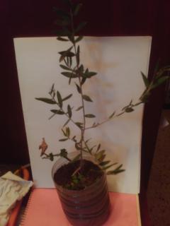 La culture et l'entretien de l'olivier- -Olea Europea 168998PICT0003JPG