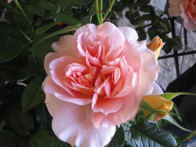 altera rosa 2010 221767coeur_de_nacre