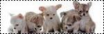 Forum Chihuahua : Mini Dog's Chihuahua 227192chiots_dispo