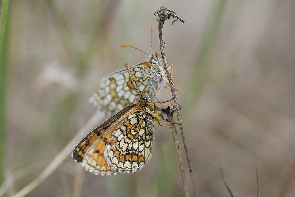 [Melitaea parthenoides & divers] damned damier 234064Melicta_Repro1