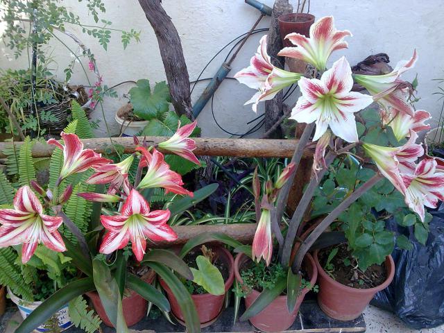 Amaryllis (hippeastrum) -culture, entretien, floraison 2645003_amarilys_2_05_2010