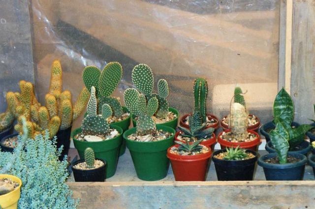 les cactus d'intérieur  275594img028