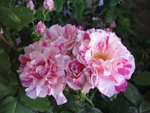 altera rosa 2010 32480berlingot