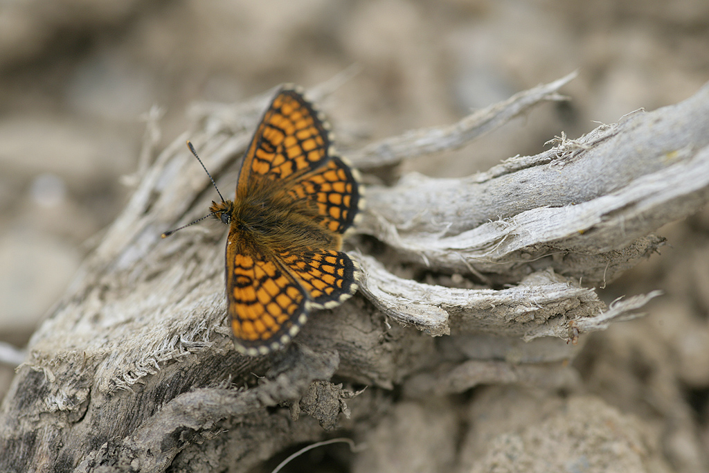 [Melitaea parthenoides & divers] damned damier 330301Melicta_4