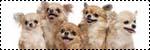 Forum Chihuahua : Mini Dog's Chihuahua 356285icone_elevage