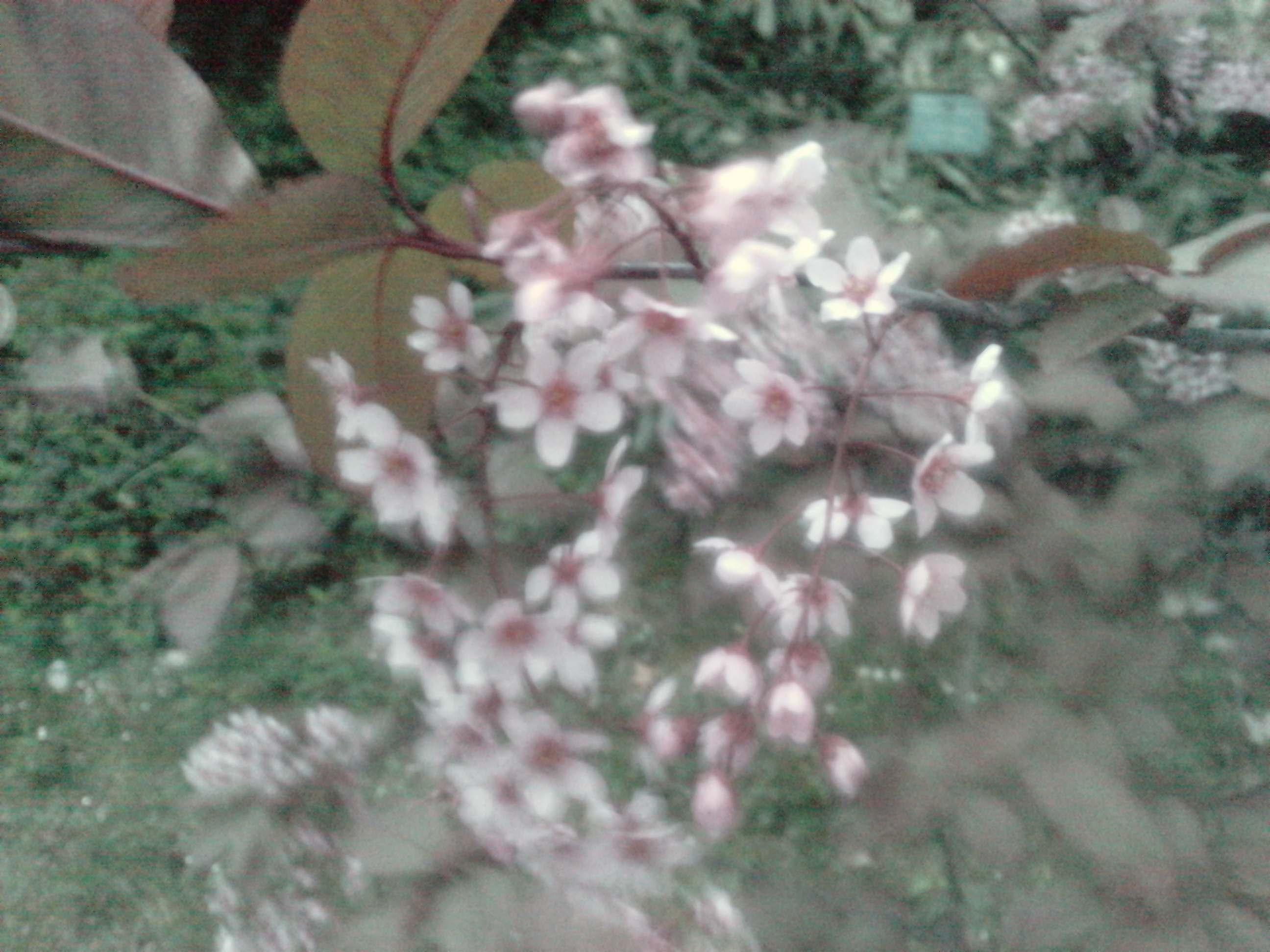 Quelques arbustes en fleurs  368904PRUNUSpadusColoratusle010411