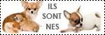 Forum Chihuahua : Mini Dog's Chihuahua 395678icone_naissance