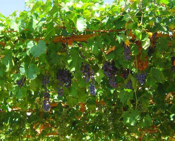 Fleurs,....fruit,.....tout ce qui se mange,...se boit....ou qui vient de la nature.......... - Page 4 415790normaltreillegiovannajpg
