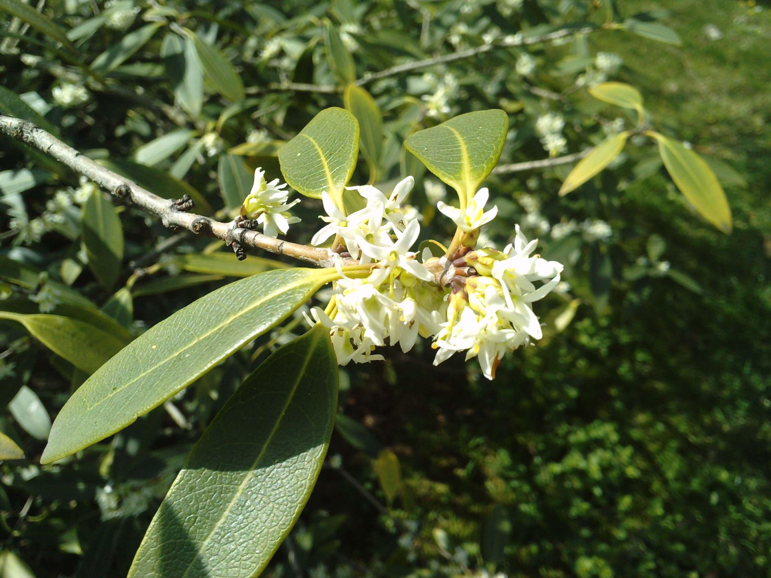 Quelques arbustes en fleurs  528524OSMANTHUSdecorusfleursdtaille250311