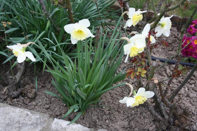 Quelques floraisons 542967narcisse