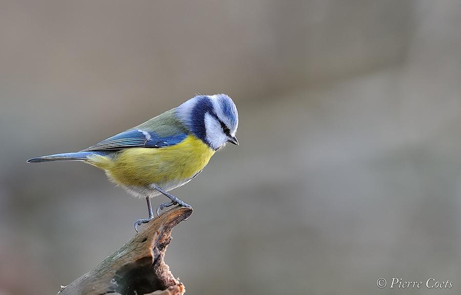 Oiseaux d'hiver 2011: Coets 549282PIE1273coets9214