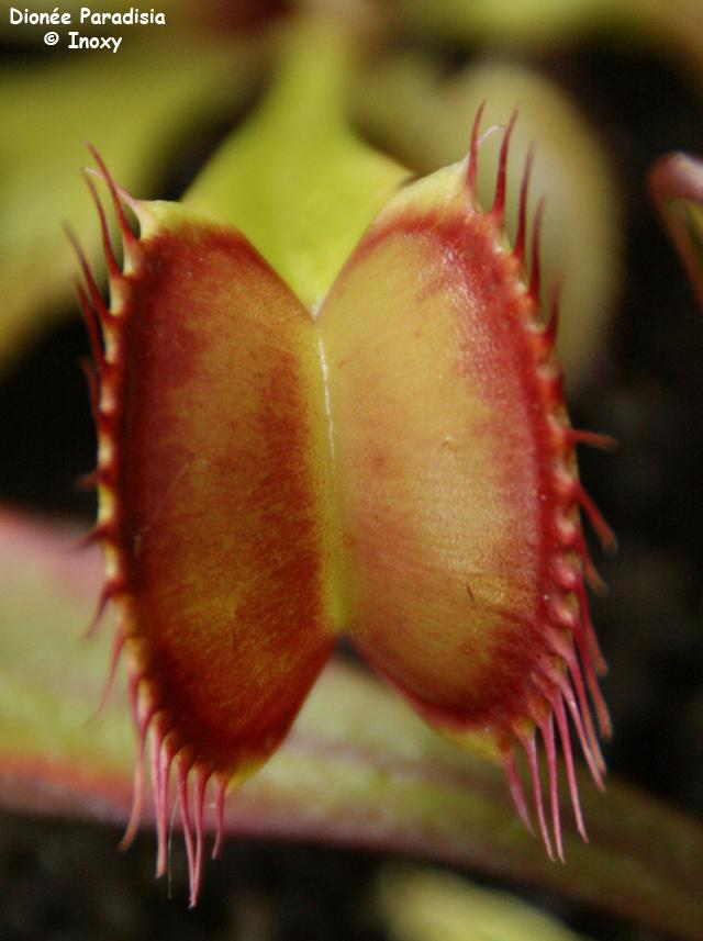 Dionaea 'Paradisia' - Page 2 579552Dionee_Paradisia_20_07_10_640x480