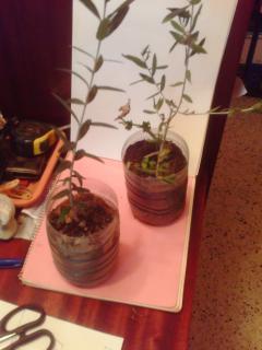 La culture et l'entretien de l'olivier- -Olea Europea 604979PICT0004JPG