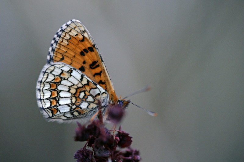 [Melitaea parthenoides & divers] damned damier 605174pap