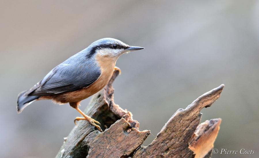 Oiseaux d'hiver 2011: Coets 638145PIE1768coets9559