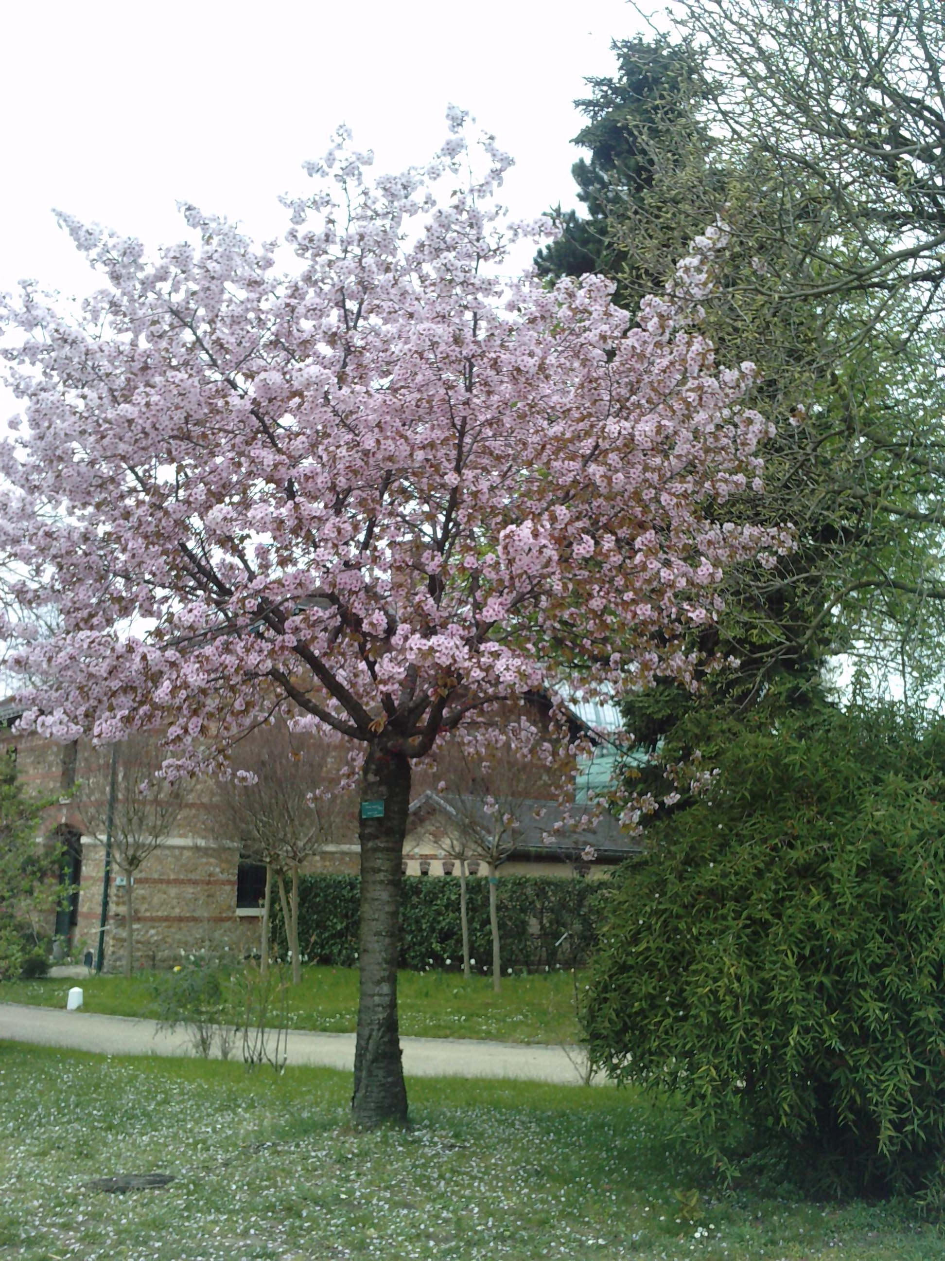 Quelques arbustes en fleurs  659831PRUNUSsargentiin2le270311