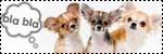 Forum Chihuahua : Mini Dog's Chihuahua 682721icone_discussion_chihuahua2